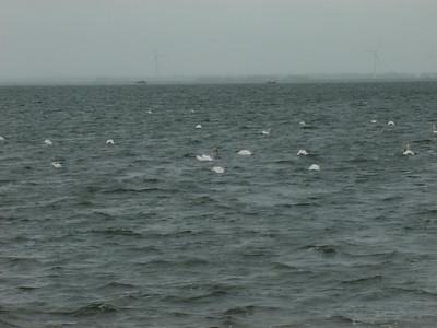 Swans not seagulls