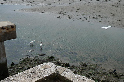 Ibises from the Pitt St. Pier, Mount Pleasant SC
