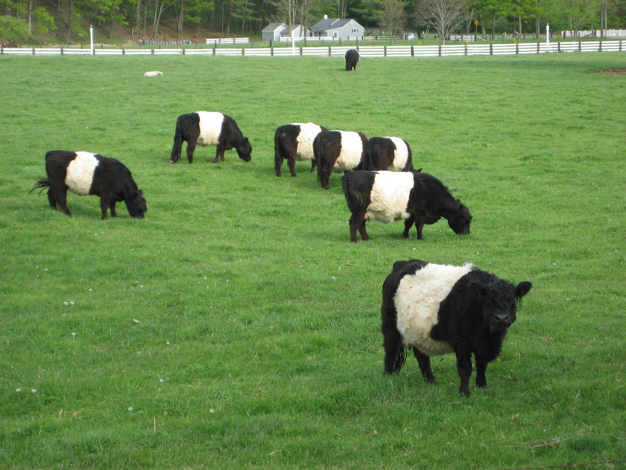 Belted cattle