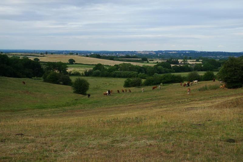 Field, cattle