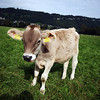 <b>5 Oct</b> Liechtenstein calf is curious