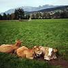<b>5 Oct</b> Calves in Liechtenstein