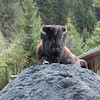 <b>27 Sept</b>  A wisent (or just a normal bison) in the animal park at the start of the Großglockner High Road
