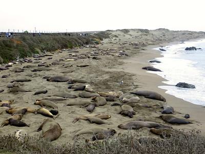 Elephant seals in San Simeon