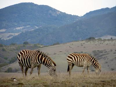 Zebras in Hearst Castle property
