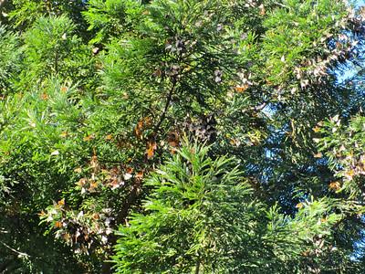 Monarch butterflies at Esalen