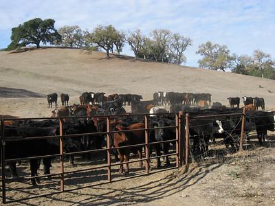 Les belles vaches (Fall 2007)