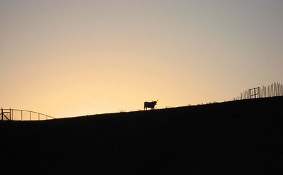 Longhorn at sunset (01/2008)
