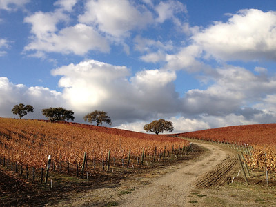 Vineyard (Dec 2012): photo taken with my new iPhone