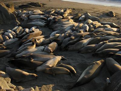 Sea lions (San Simeon)