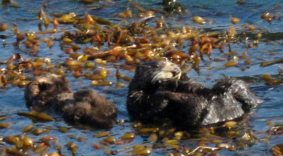 Mother & baby sea otters (Point Lobos)