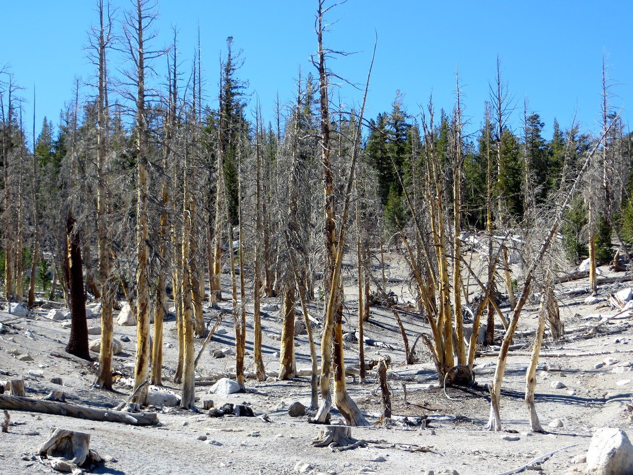 Trees killed by CO2