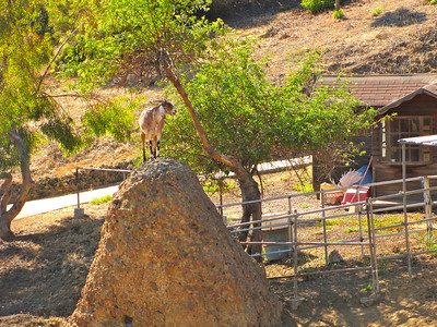 Mountain goat in Malibu