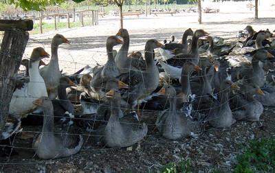 Geese farm for foie gras