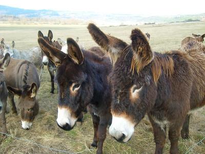 Sylvie's donkeys