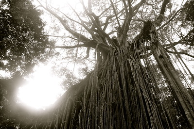 Fig curtain tree