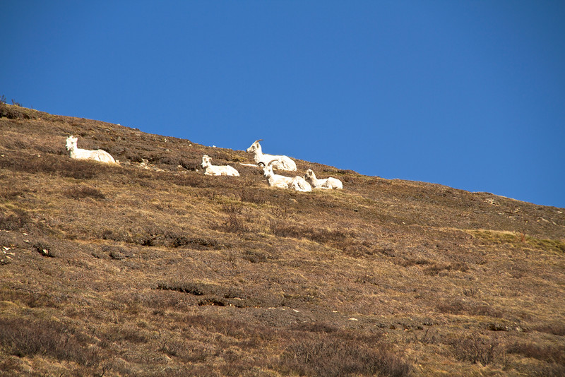 Dall sheep on Polychrome.  The wind made it difficult to hold the camera still.