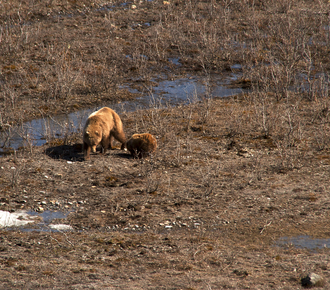 A sow and cub that have been hanging around the East Fork of the Tokat.