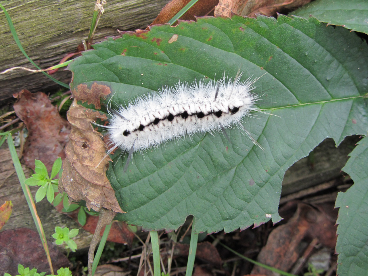This catepillar is the future Hickory Tussock Moth. DO NOT TOUCH.<br /> <br /> Lophocampa caryae, the Hickory Tussock Moth or Hickory Halisidota, is a moth in the family Arctiidae. Like most species in its family, the caterpillars acquire chemical defenses from their host plants. The behaviour and aposematic coloration of the larvae (caterpillars) also suggests chemical protection in this stage, although they have not been analyzed for alkaloid or cardenolide content. Formerly placed in the genus Halysidota.<br /> <br /> Life cycle: One generation per year<br /> <br /> Larva: Caterpillars are covered all over in long hairlike setae, in spreading tufts. Most are white, but there are black tufts along the middle of the back, and four long black hair pencils (two near the front, and two near the back). These hairs cause itchy rashes in some people. They are microscopically barbed and may cause serious medical complications if the barbed hairs are transferred from the hands to the eyes. There are black spots along the sides, and the head capsule is black. They can bite.<br /> <br /> Mature caterpillars are found from July to September. Caterpillars feed in groups of 100 or so in the early instars, skeletonizing the leaves. They become solitary later. Grows to a length of 4.5 cm.<br /> <br /> Pupa:The cocoon is loose and has 'hairs' woven into it, and overwinters in the leaf litter.<br /> <br /> Adults: Fore-wings are yellowish-brown, marked with white splotches in a kind of stained glass effect. The hindwings are mostly white. The body is 'hairy' and pale brown. Moths fly in May and June