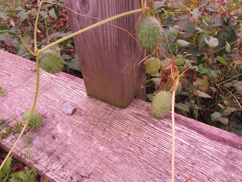 """This wild prickly cucumber was on the first bridge. <a href=""""http://en.wikipedia.org/wiki/Echinocystis"""">http://en.wikipedia.org/wiki/Echinocystis</a>"""
