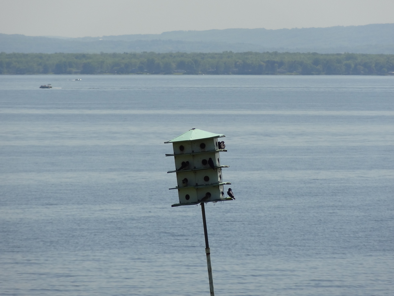 Purple Martins, the great mosquito eaters.