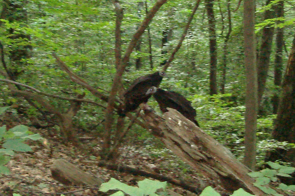 Young Turkey Vultures...check out the Video also!!