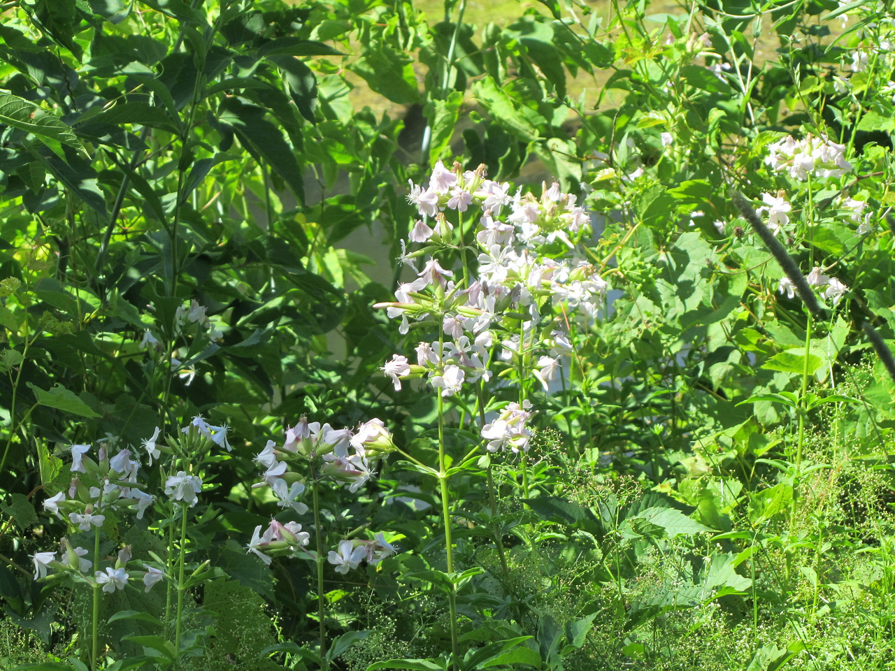 Some pretty white flower along the bank of the canal.