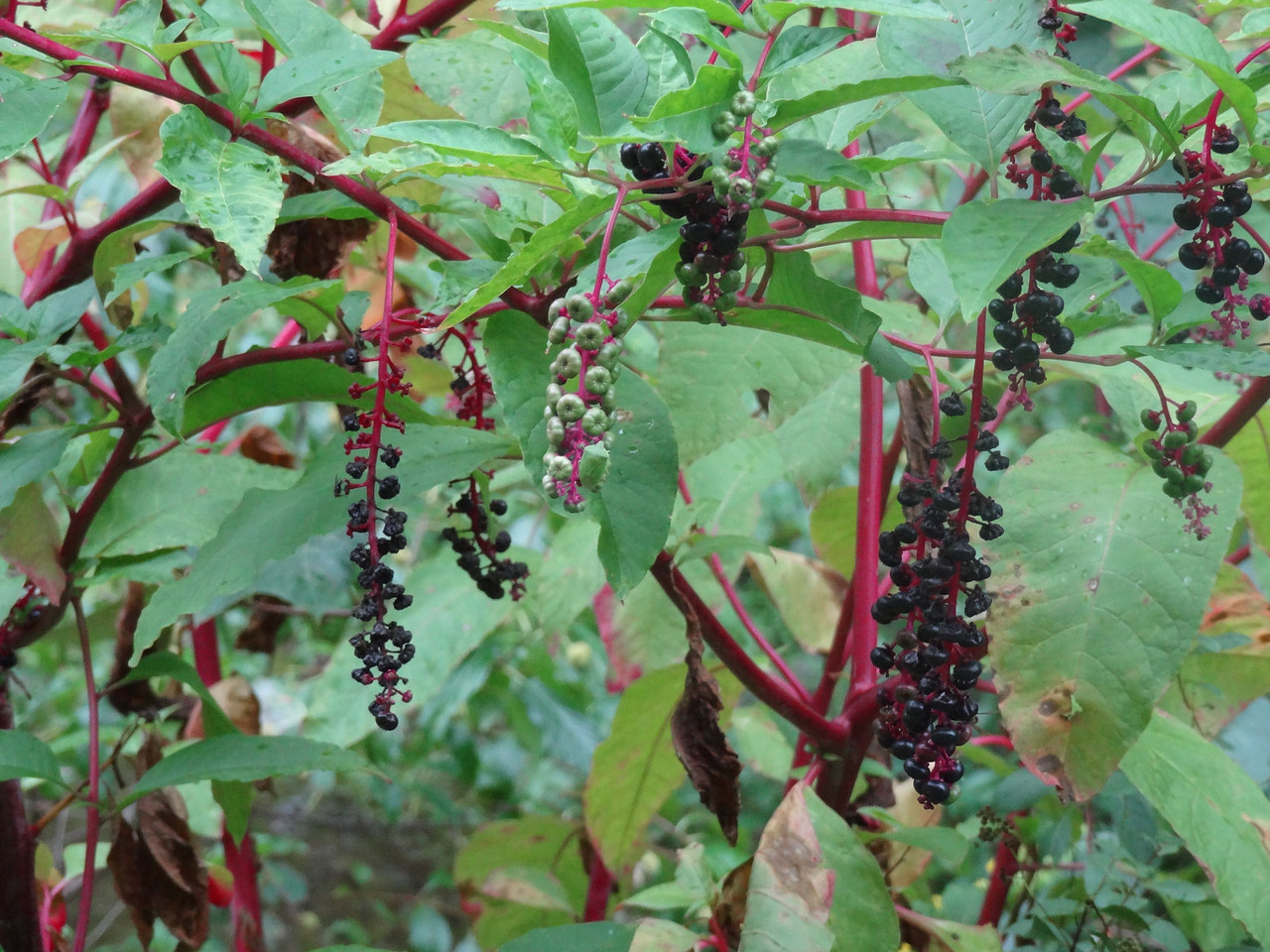 """Pokeweed berries. highly toxic seeds and roots, but the young shoots in the spring (IF BOILED IN 4 CHANGES OF WATER) are supposed to be delicious. I am an adventurous eater but this is a little crazy. And who is the bafoon who determined 4 changes of water is good? <br /> <br /> """"Well, I reckon my first three kids died from eating pokeweed shoots boiled once, twice, and three times. Lets see if Little Cletus survives if I boil it four times. Eureka!"""""""