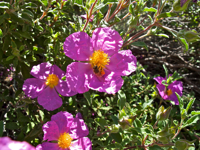 Rock-rose and bee.