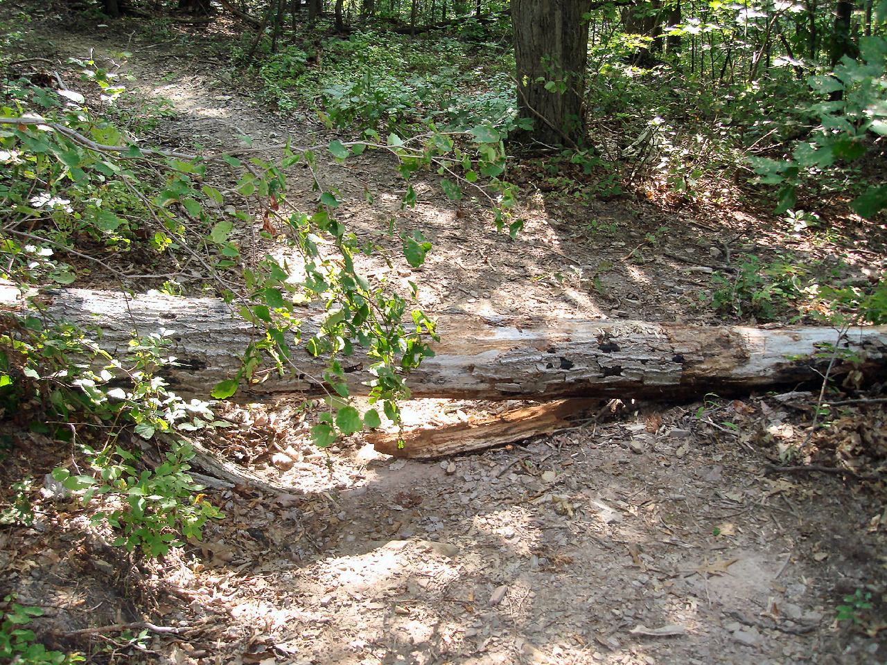 14 inch down tree on trail still needs a chain saw