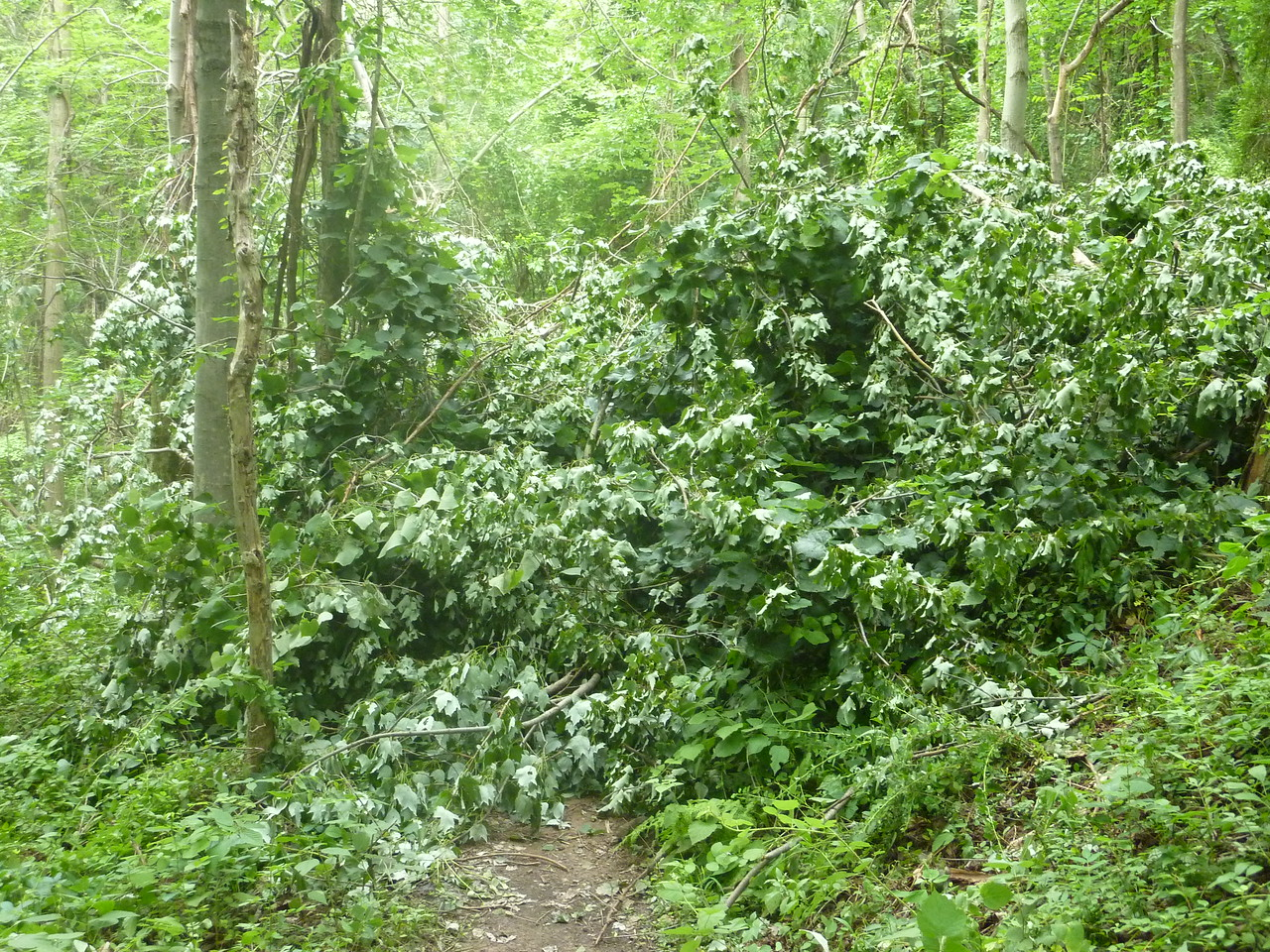 This mess covered 75 ft of trail, thick with limbs & grape vines, what a twisted jungle.