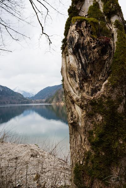 Baum vor dem Alpsee bei Hohenschwangau, Bayern, Deutschland
