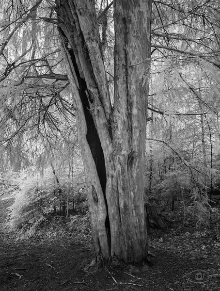 Eibenwald bei Paterzell, Oberbayern, Bayern, Deutschland