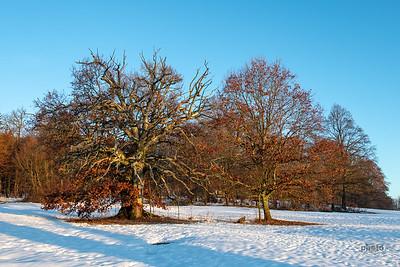Alte Bäume im Bernrieder Park, Bernried, Oberbayern, Bayern, Deutschland