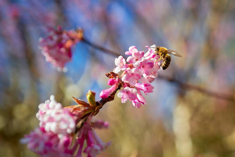 Biene auf Baumblüte, Dehner, Rain am Lech, Schwaben, Bayern, Deutschland