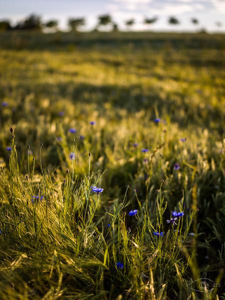 Kornblumen in einem Kornfeld, Lützelburg, Bayern, Deutschland