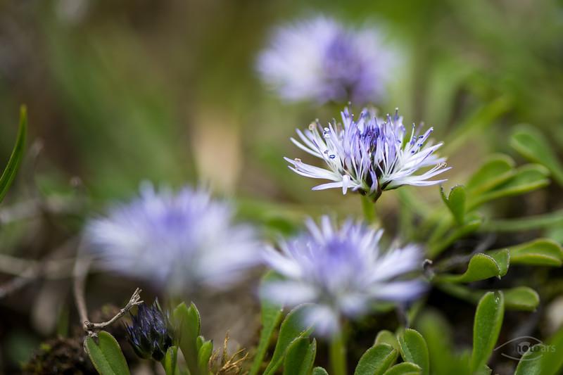 Blüte auf einer Heide nahe der Isar bei Wallgau, Oberbayern, Bayern, Deutschland