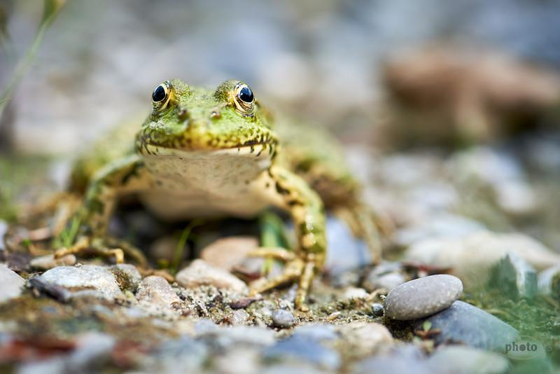 Frosch, Weiher bei Balzhausen, Bayern, Deutschland