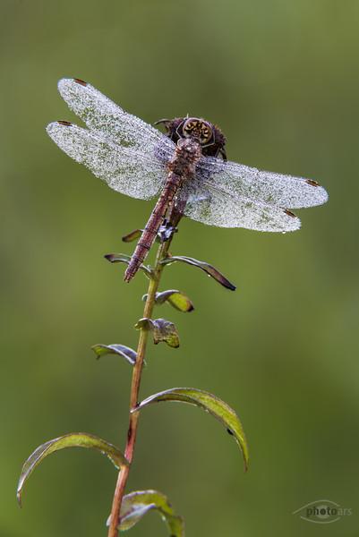 Gemeine Heidelibelle (Sympetrum vulgatum, Weibchen)