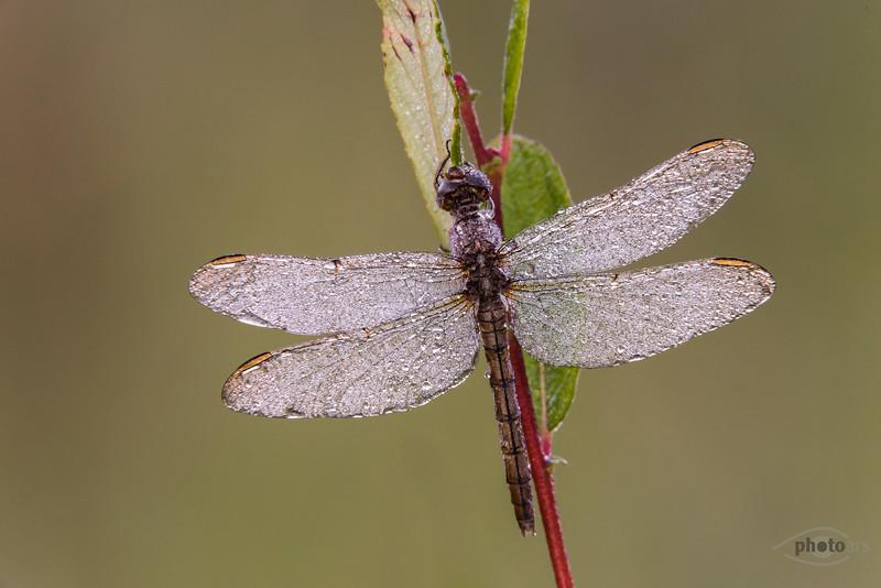 Kleiner Blaupfeil (Orthetrum coerulescens, Weibchen)