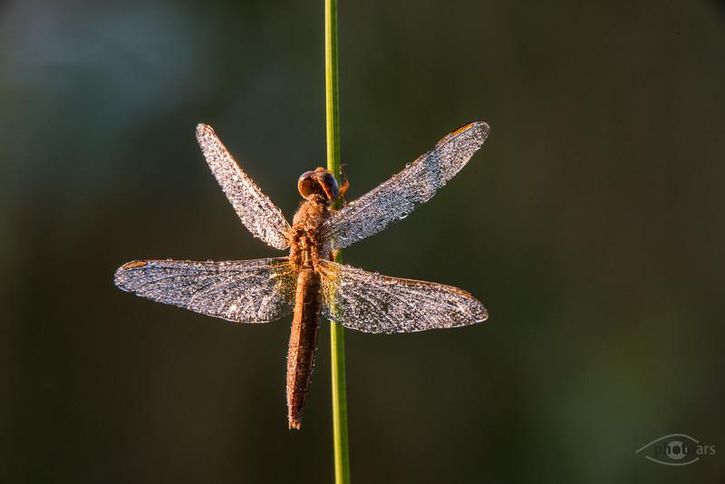 Feuerlibelle (Crocothemis erythraea, Weibchen)