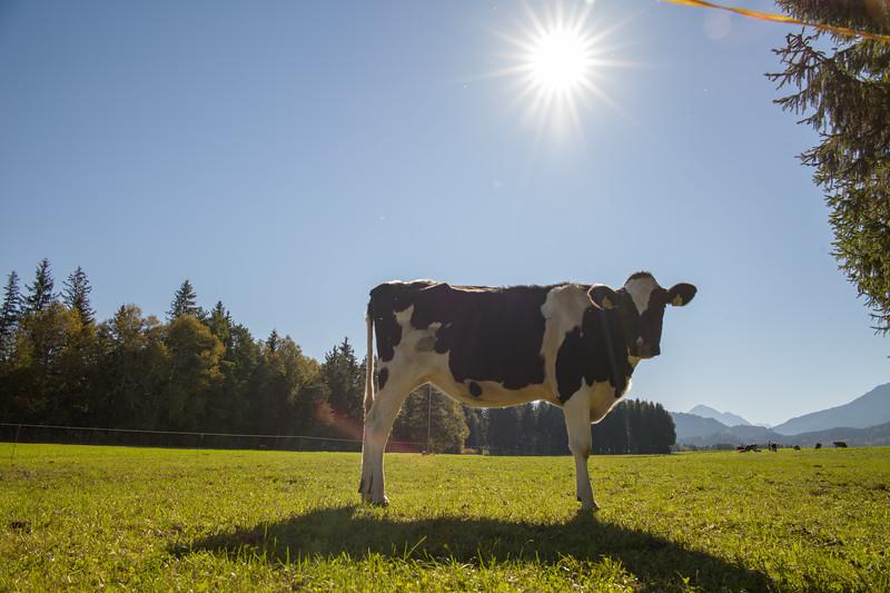 Kühe auf der Weide, Hopfensee, Ostallgäu, Bayern, Deutschland