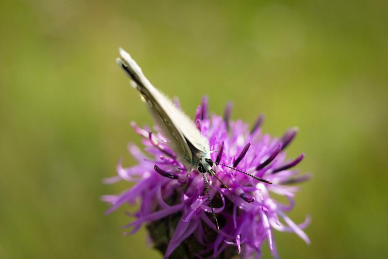 Bläuling (Lycaenidae), Rollerberg, Hoppingen, Schwaben, Bayern, Deutschland