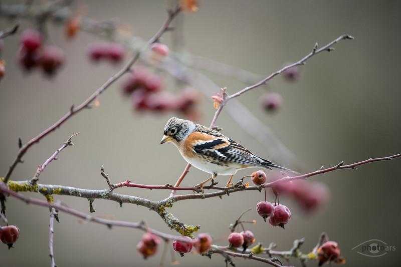 Bergfink (Fringilla montifringilla), Männchen, Affaltern, Schwaben, Bayern, Deutschland
