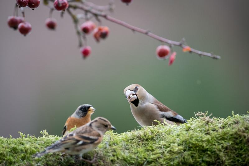 Kernbeißer (Coccothraustes coccothraustes), Männchen im Winter, Affaltern, Schwaben, Bayern, Deutschland