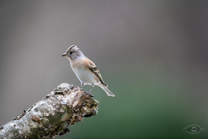 Bergfink (Fringilla montifringilla), Weibchen, Affaltern, Schwaben, Bayern, Deutschland