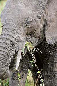 22-K31-20 - Afrikanischer Elefant