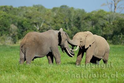 22-K31-13 - Afrikanischer Elefant