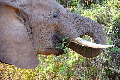 22-K31-09 - Afrikanischer Elefant
