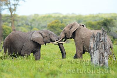 22-K31-15 - Afrikanischer Elefant